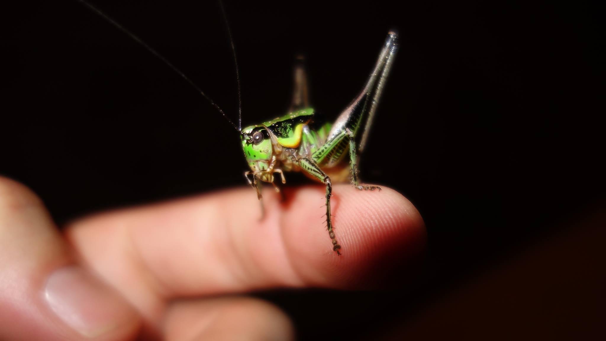 Grüne Strauchschrecke Eupholidoptera chabrier