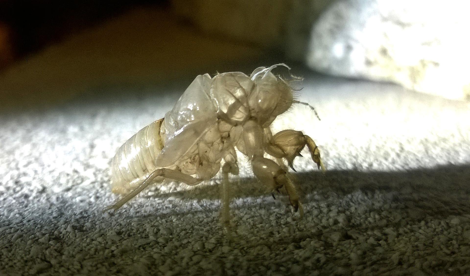 Zikadenhaeutung